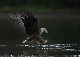 Eoro sea Eagle