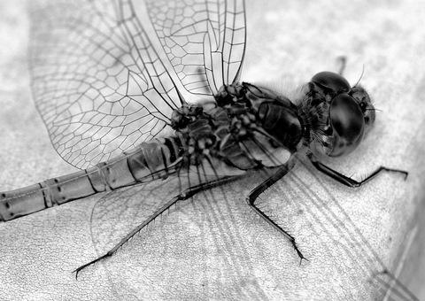 B&W Dragonfly by EventHorizon