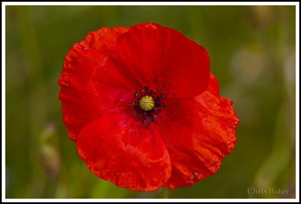 Poppy by heliflyer