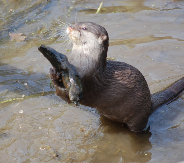 An Otter. by ianjames224