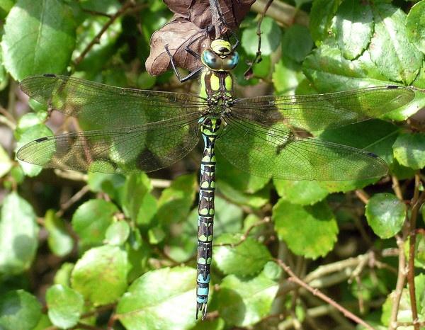 Garden Dragonfly by PaulinAus
