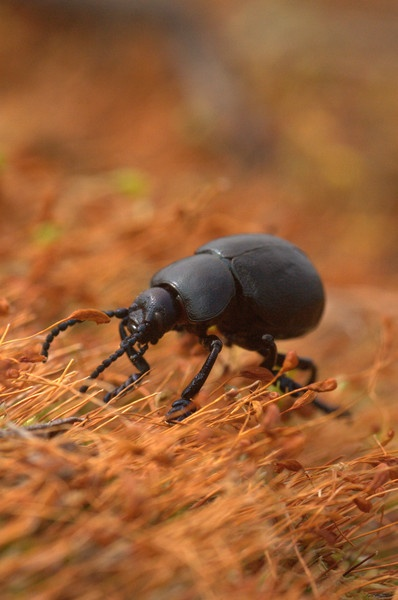 Bloody nosed beetle by gordon002