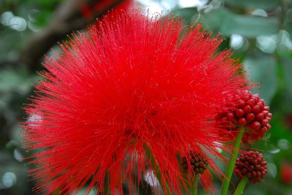 Red flower Rwanda by JMB