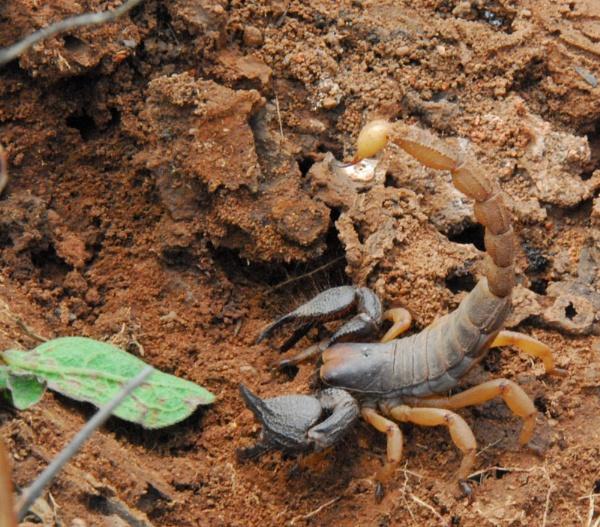 Scorpion by JMB