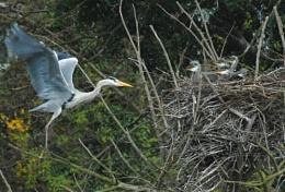Mother Heron arriving home