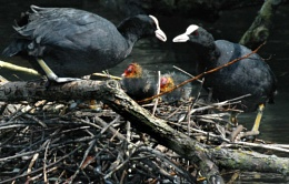 The Coot Family