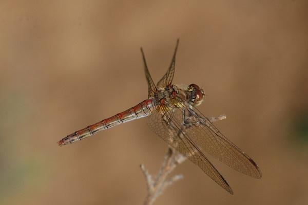 dragonfly by djgaryrichardson