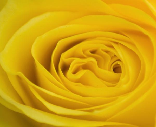 Yellow rose by tazisdylan