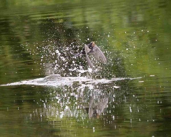 Bathing Swallow by neil john