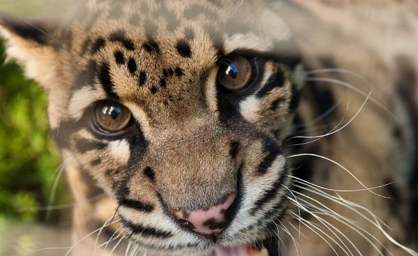 Leopard by sausage