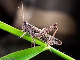 Macro Grass hopper