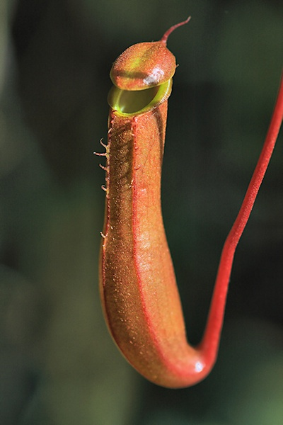 Monkey Cup Pitcher Plant by mjstead