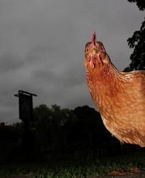 Nosey Hen