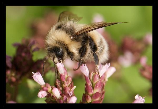 Bee by GaryR