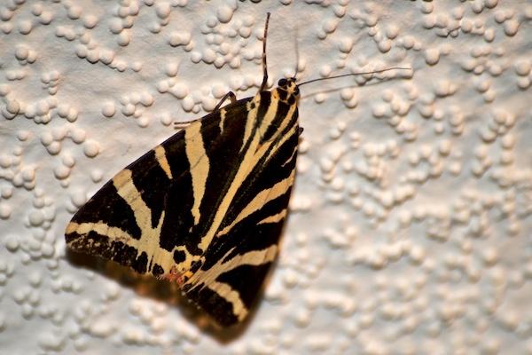 Moth by JasperD