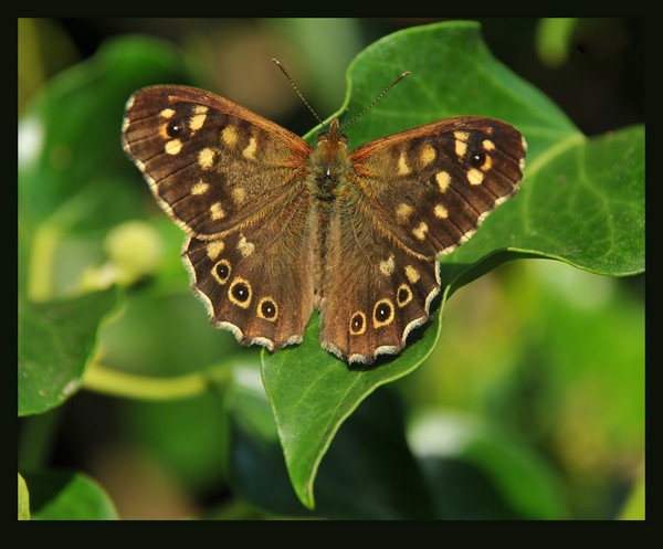 Speckled Wood Butterfly by tubbtubby