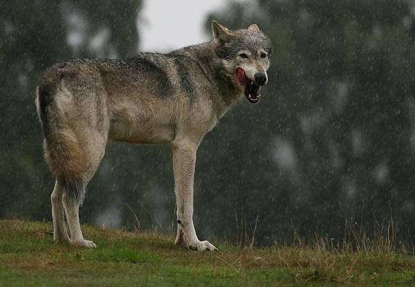 Wolf by KJackson