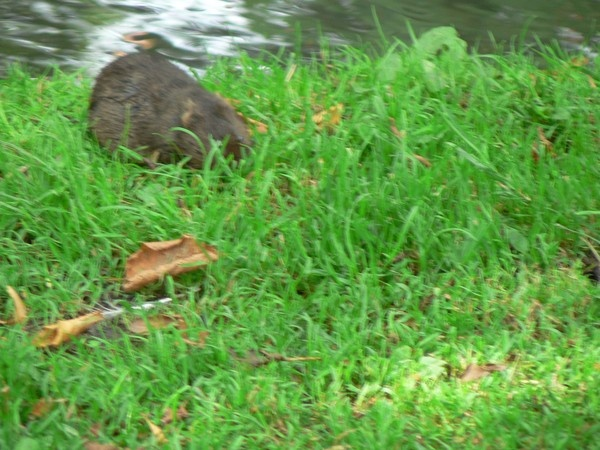 \'\'WATER VOLE\'\'ON RIVER BANK by thetailor