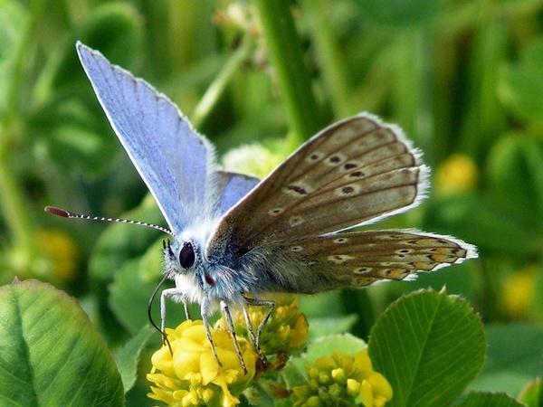 Common Blue by Emmybear