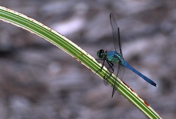 dragonfly by WaltP