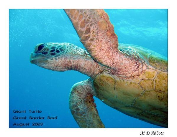 Green Back Turtle by elaronndy