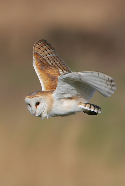 Barn Owl by nigelpye