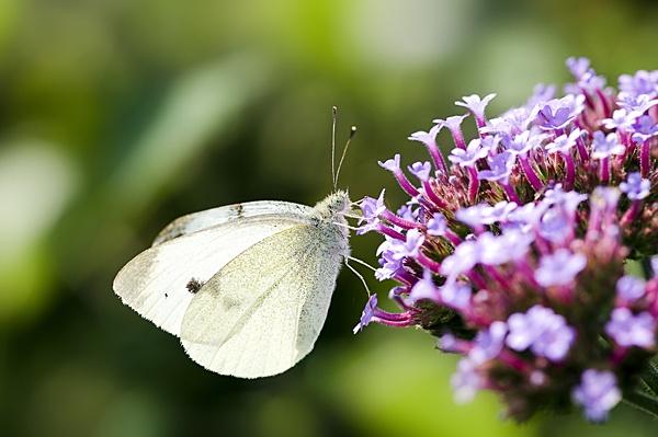 common white by DanielDCP