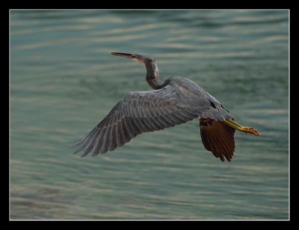 Heron by DanZed69