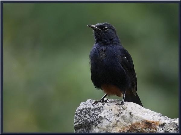 Indian Robin by nasoteya