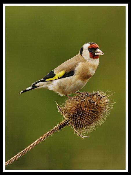 goldfinch-feeding--1 by AnthonyF