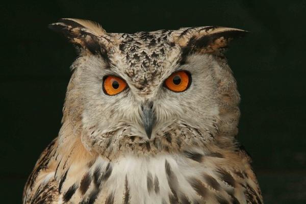 Eagle eyed by shamo