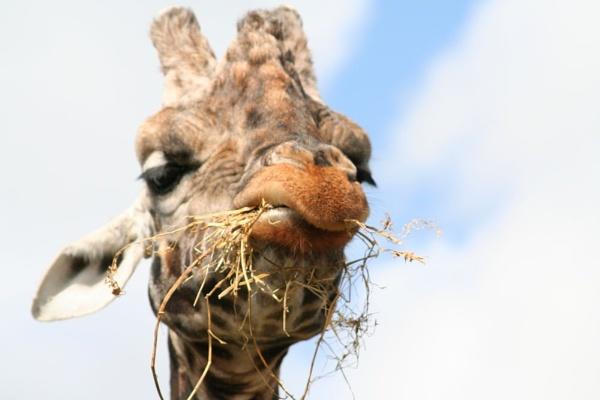 Giraffe dinner by samknox