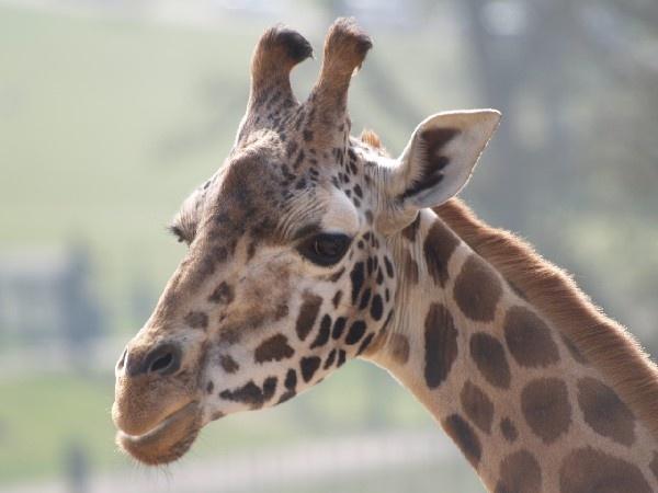 Giraffe by Kendo77