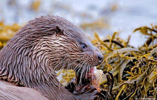 Otter by CraigJones