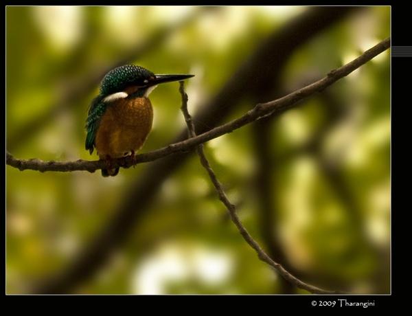 Common Kingfisher by tharang_b9