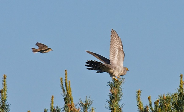 CUCKOO and MEADOW PIPIT by redshank