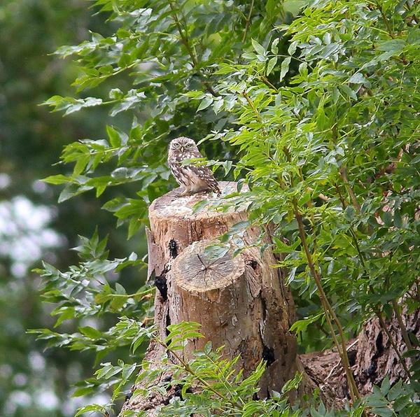 wild LITTE OWL by LeeFisher