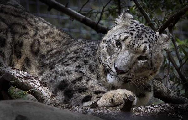 Snow Leopard by lumenessence