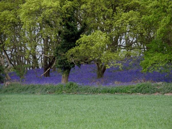 Bluebells in Norfolk by lindah303