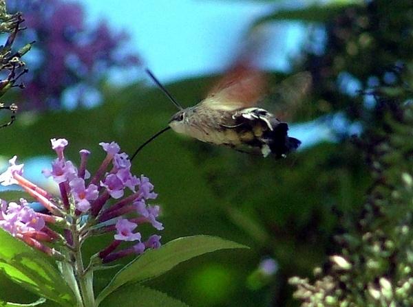 Hummingbird Hawk Moth by PaulinAus