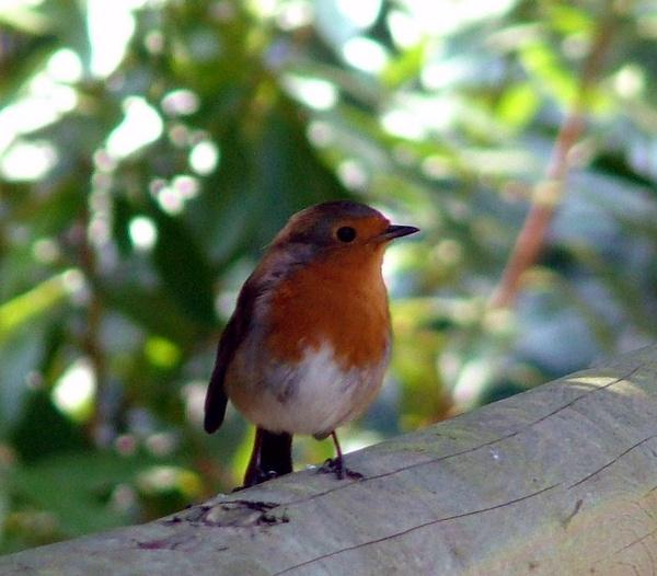 Robin Redbreast by PaulinAus