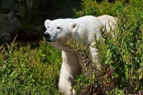 Polar Bear by Carrera_c