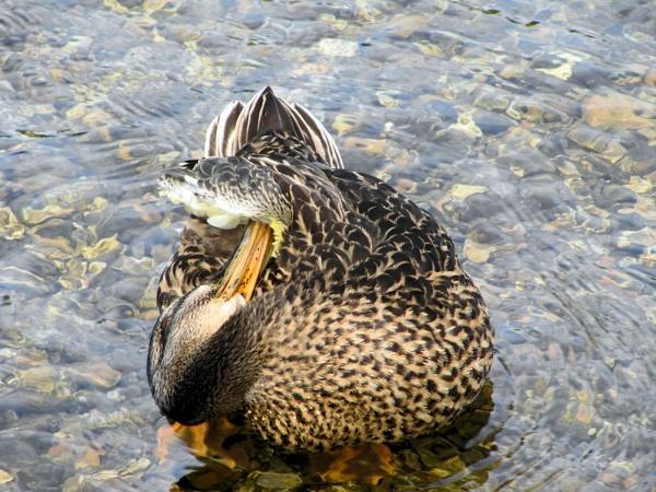 Duck preening by Davlaw
