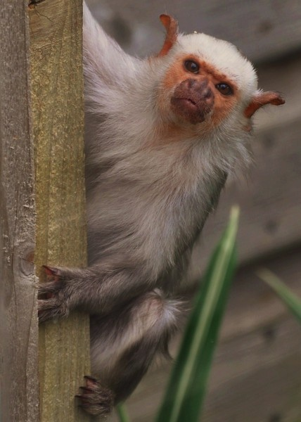 silvery marmoset by matta56