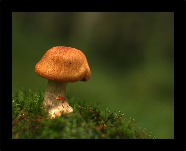Mushroom I by suregork