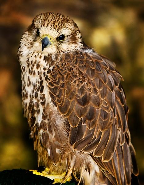 Saker Falcon by Pegon