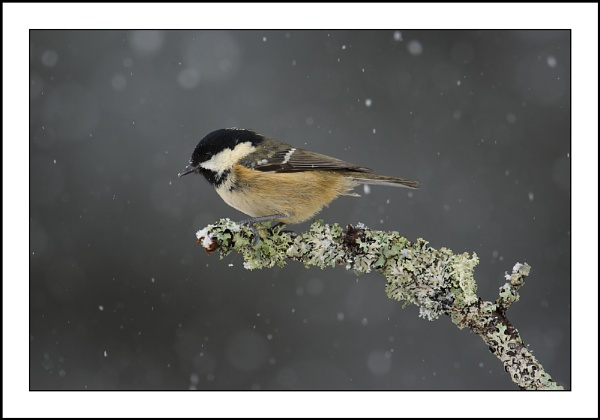 Coal Tit by csurry