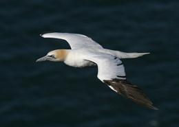 Another Gannet