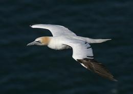Another Gannet