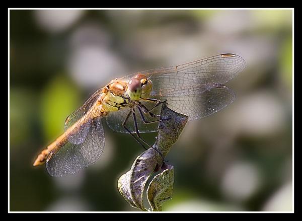 Dragonfly by BobbyP